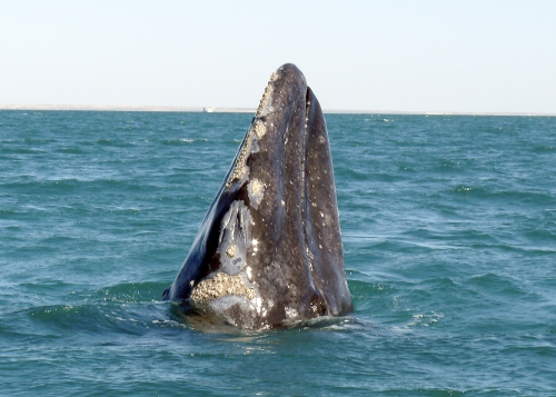 A gray whale in the San Ignacio Lagoon, Baja California. Each year the gray whales come to these lagoons to mate and give birth.