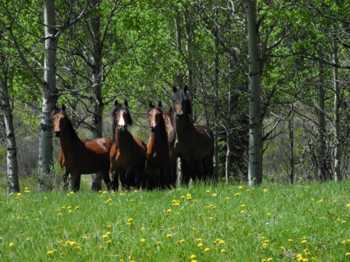 A band of batchelor stallions in the Ghost Forest, in the foothills of the Canadian Rockies